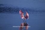 00707-00803 Roseate Spoonbill (Ajaia ajaja) landing J.N. Ding Darling NWR   FL