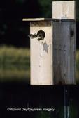 00715-03706 Wood Duck (Aix sponsa) ducklings leaving nest box Marion Co.   IL