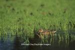 00719-00820 Northern Shoveler (Anas clypeata) female in wetland Marion Co.   IL