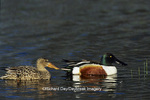 00719-00911 Northern Shoveler (Anas clypeata) male & female in wetland Marion Co.  IL