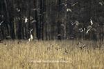 00729-00613 Mostly Mallards (Anas platyrhynchos) over flooded cornfield Carlyle Lake Wildlife Mgmt Area   IL