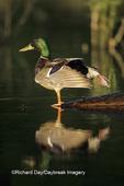 00729-00719 Mallard (Anas platyrhynchos)  male in wetland   Marion Co.   IL
