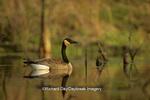 00748-01908 Canada goose (Branta canadensis)    IL