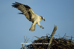00783-01308 Osprey (Pandion haliaetus) female landing at nest    FL