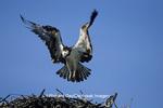 00783-01315 Osprey (Pandion haliaetus) male landing at nest, FL
