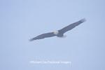 00807-01109 Bald eagle (Haliaeetus leucocephalus) in flight Chilkat River, Haines   AK