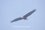 00807-01110 Bald eagle (Haliaeetus leucocephalus) in flight Chilkat River, Haines   AK
