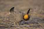 00842-02015 Greater Prairie-Chicken (Tympanuchus cupido) male booming on lek,  Jasper Co.   IL