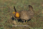 00842-02020 Greater Prairie-Chicken (Tympanuchus cupido) male booming on lek,  Jasper Co.   IL