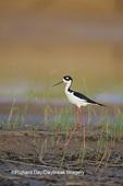 00904-00715 Black-necked Stilt (Himantopus mexicanus) in wetland, Karl Bartel Grassland  Prairie Ridge SNA Marion Co IL