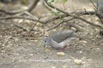 01071-00106 White-tipped Dove (Leptotila verreauxi) Bentsen-Rio Grande SP   TX