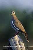 01079-00112 White-winged Dove (Zenaida asiatica) on fence post  Starr Co. TX