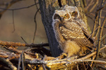 01116-03015 Great Horned Owls (Bubo virginianus) at nest, approx. 6 wks old   IL