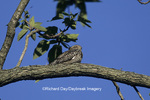 01139-00302 Common Nighthawk (Chordeiles minor) roosting in tree Marion Co.   IL