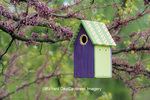 01715-02414 Bird house nest box in Eastern Redbud tree (Cercis candensis) in spring Marion Co.  IL