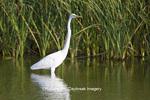 00688-02202 Great Egret (Casmerodius albus) in wetland, Leonabelle Turnbull Birding Center, Port Aransas, TX