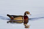 00715-08103 Wood Duck (Aix sponsa) male in wetland, Marion Co., IL