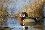 00715-08108 Wood Duck (Aix sponsa) male in wetland, Marion Co., IL