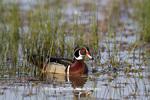 00715-08216 Wood Duck (Aix sponsa) male in wetland, Marion Co., IL