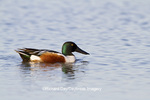 00719-01510 Northern Shoveler (Anas clypeata) male in wetland, Marion Co., IL