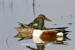 00719-01616 Northern Shovelers (Anas clypeata) male and female in wetland, Marion Co., IL