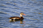 00763-00306 Black-bellied Whistling Duck (Dendrocygna autumnalis) in wetland Starr County, TX