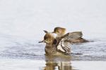 00766-00505 Hooded Merganser (Lophodytes cucullatus) females in wetland Marion Co., IL