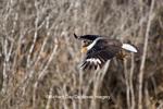 00821-00208 Crested Caracara (Caracara cheriway) in flight Starr County, TX