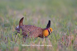 00842-04320 Greater Prairie-Chicken (Tympanuchus cupido) male booming--mating display on lek Prairie Ridge State Natural Area Marion Co. IL