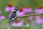 01206-03419 Downy Woodpecker (Picoides pubescens) male near flower garden Marion Co., IL