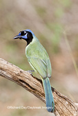 01291-00613 Green Jay (Cyanocorax yncas) in tree Starr Co., TX