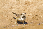 01317-00401 Cactus Wren (Campylorhynchus brunneicapillus) feeding on ground, Starr County, TX