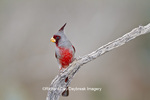 01531-003.02 Pyrrhuloxia (Cardinalis cardinalis) male Starr Co. TX