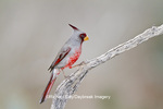 01531-003.04 Pyrrhuloxia (Cardinalis cardinalis) male Starr Co. TX