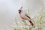 01531-003.08 Pyrrhuloxia (Cardinalis cardinalis) male Starr Co. TX
