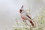 01531-003.09 Pyrrhuloxia (Cardinalis cardinalis) male Starr Co. TX