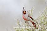 01531-003.10 Pyrrhuloxia (Cardinalis cardinalis) male Starr Co. TX