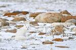 01863-01520 Arctic Fox (Alopex lagopus) Churchill Wildlife Management Area, Churchill, MB