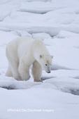 01874-13203 Polar Bear (Ursus maritimus)  Churchill Wildlife Management Area, Churchill, MB