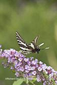 03006-00308 Zebra Swallowtail (Eurytides marcellus) on Butterfly Bush (Buddleia davidii) Marion Co., IL