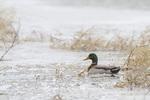 00729-02214 Mallard (Anas platyrhynchos) male in wetland in winter, Marion Co. IL
