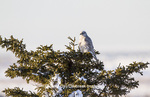 00817-00701 Gyrfalcon (Falco rusticolus) white phase in spruce tree Churchill Wildlife Management Area Churchill MB