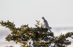 00817-00703 Gyrfalcon (Falco rusticolus) white phase in spruce tree Churchill Wildlife Management Area Churchill MB