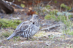 00835-00103 (JM) Ruffed Grouse (Bonasa umbellus) feeding Yellowstone NP, WY