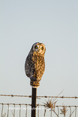 01113-01410 Short-eared Owl (Asio flammeus) on fence post Prairie Ridge State Natural Area Marion Co. IL