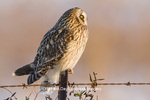 01113-01411 Short-eared Owl (Asio flammeus) on fence post Prairie Ridge State Natural Area Marion Co. IL
