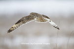 01113-01716 Short-eard Owl (Asio flammeus) in flight in winter Prairie Ridge State Natural Area, Marion Co. IL