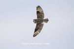 01113-01717 Short-eard Owl (Asio flammeus) in flight in winter Prairie Ridge State Natural Area, Marion Co. IL