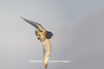 01113-01816 Short-eard Owl (Asio flammeus) in flight in winter Prairie Ridge State Natural Area, Marion Co. IL