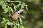 01415-03403 Cedar Waxwing (Bombycilla cedrorum) eating berry in Serviceberry (Amelanchier canadensis) bush, Marion Co. IL